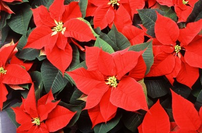 Regalar Poinsettia
