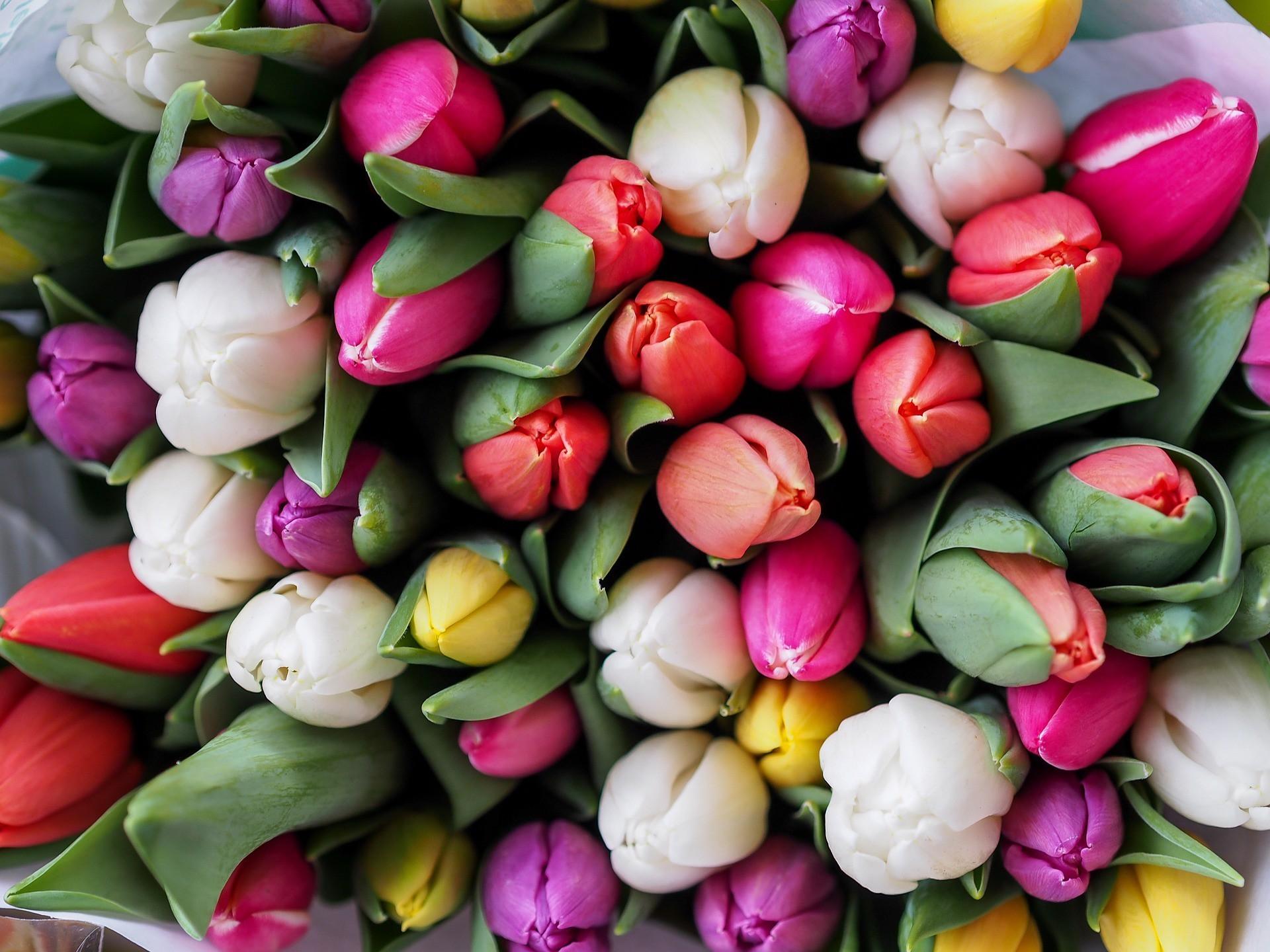 Vuelven los tulipanes