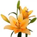 Lilium Asiático Salmón