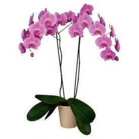 Phalaenopsis morada