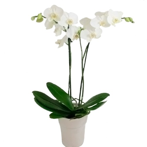 Phalaenopsis OFERTA Blanca