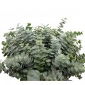 Verdes_Eucaliptus